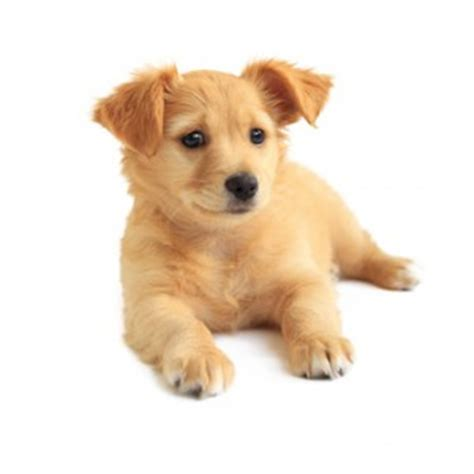 what is the best puppy food for golden retrievers what is the best food for dogs with allergies