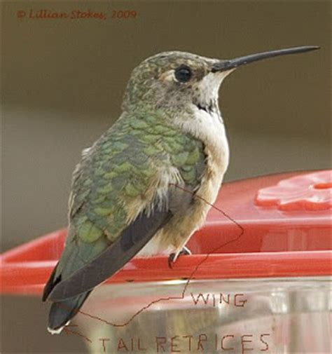 stokes birding blog selasphorous hummingbirds in new england