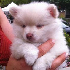 pomeranian bad teeth pomeranian dogs on pomeranians pomeranian puppy and baby pomeranian