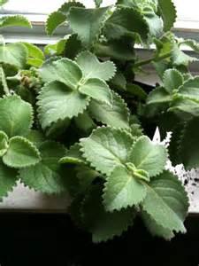 Indoor Herb Pots broad leaf thyme new vision