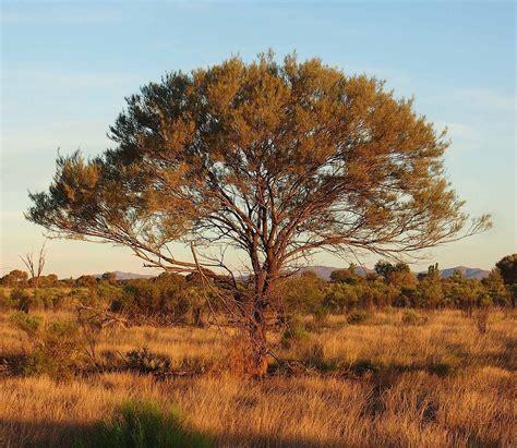 tree australia acacia aneura