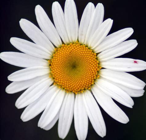 flower picture daisy flower 3 the flower garden daisy flower meaning