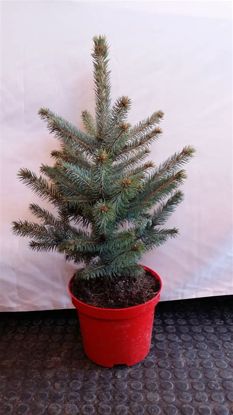 blue spruce artificial tabletop tree small table top real blue spruce tree rooted