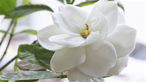 gardenia fiore gardenia