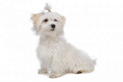 maltese puppy names malshi puppy names goldenacresdogs
