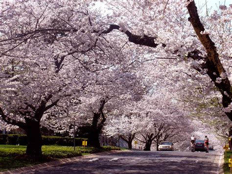 cherry trees b b shere what december s cherry blossoms for wtop