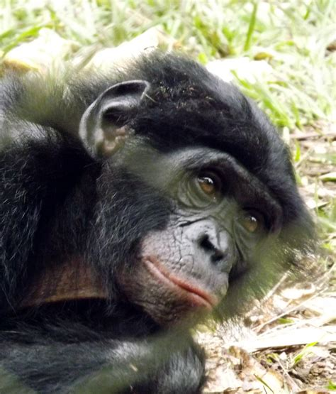 Pan Paniscus; Bonobo; Chimpanzee, Pygmy; Pygmy Chimpanzee