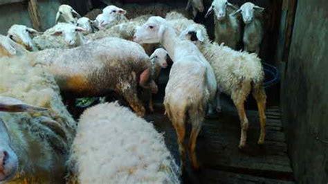 jual bibit kambing gunungkidul daging kambing