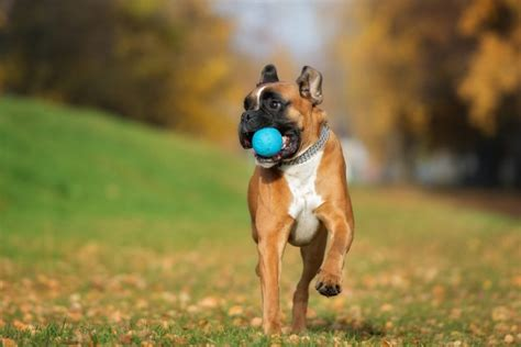how to to play fetch how to teach your to play fetch canna pet 174