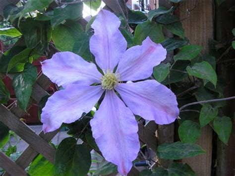 please can someone identify this clematis grows on you