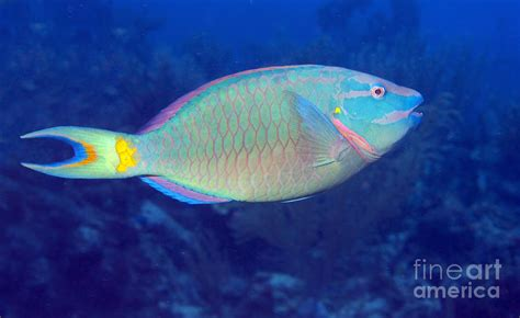 Fish Decor For Home Stoplight Parrotfish On Caribbean Reef Photograph By Karen