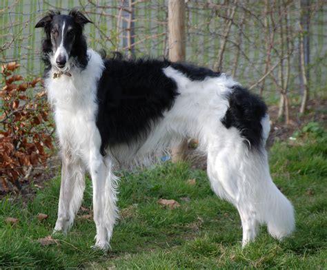 borzoi puppies borzoi breed guide learn about the borzoi