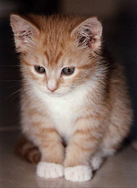 wallpaper anak kucing imut 10 gambar kucing lucu