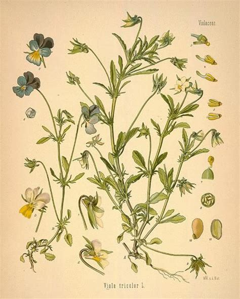 thyme and violets and other unpublished works books 17 best images about edible medicinal plants on