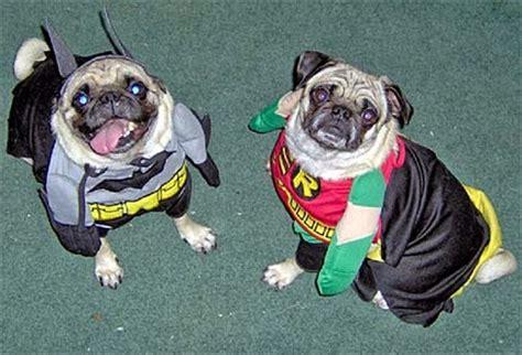 batman pug pug batman interesting facts pictures