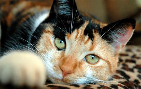 Sho Kucing Di Petshop daftar harga kucing calico terbaru september 2017