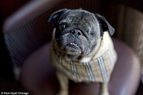 aggressive pug chicago hotel employs new concierge the one eyed rescue pug daily mail