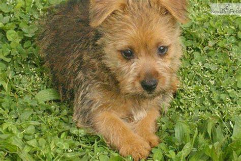 australian terrier puppies for sale australian silky terrier puppies are for sale in australia with pups 4 breeds