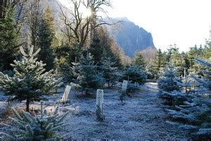 top tree farms in seattle area mountain creek tree farm in snoqualmie seattle