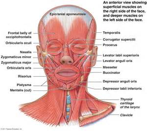 anatomy of head and neck muscles human anatomy diagram