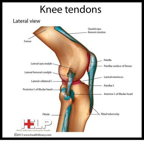 tendons in the knee diagram knee tendons skeletal