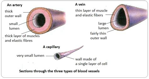 diagram of a capillary 72 arteries veins and capillaries structure and
