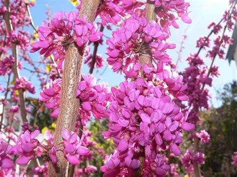 fiori albero di giuda albero di giuda cercis siliquastrum alberi il