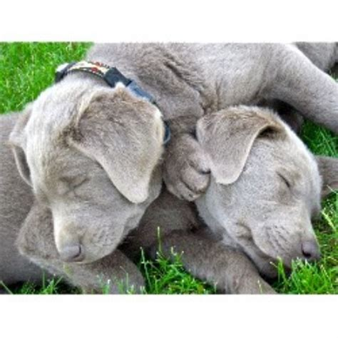 lab puppies iowa silver cave labradors labrador retriever breeder in ionia iowa