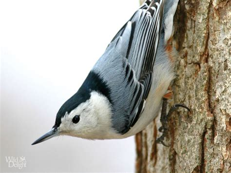 white breasted nuthatch wild delightwild delight