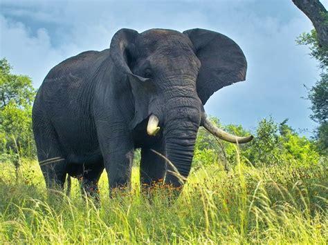 African Bush Elephant   The Life of Animals