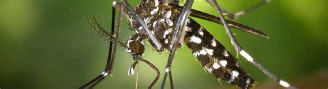 eliminare zanzare dal giardino eliminare zanzare tigre virus zika disinfestazione