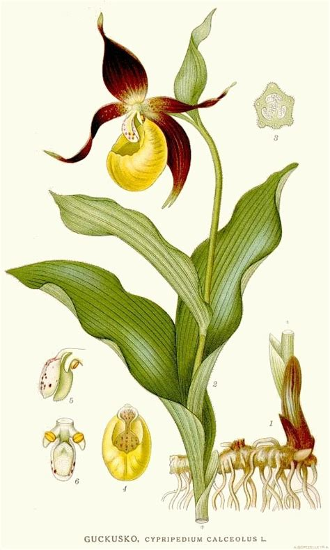 File 419 Cypripedium Calceolus Jpg Wikimedia Commons