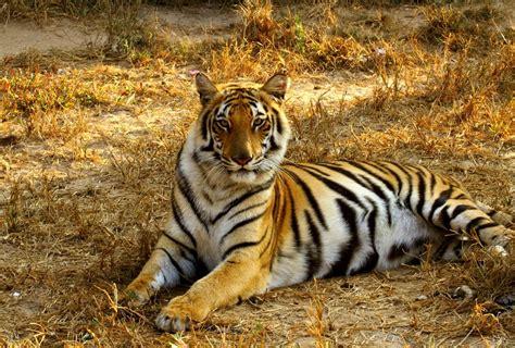 animal bengal tiger bangladesh striving to save endangered bengal tigers