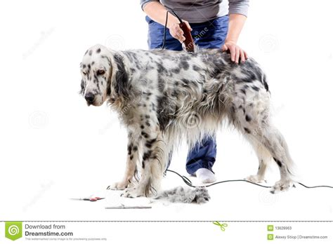 setter dog grooming dog grooming stock photos image 13628963