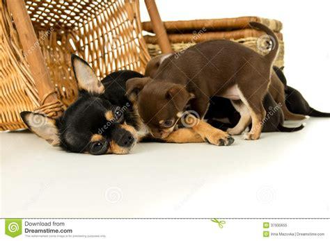 alimentazione chihuahua cucciolo cuccioli d alimentazione della chihuahua della