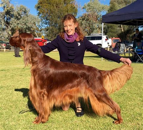 irish setter dogs for sale australia new australian champion irish setters australia