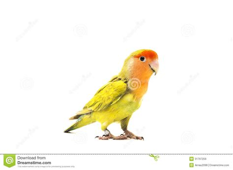 lovebird colors royalty free stock images image 31797259