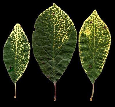 plum line pattern virus frutas brasil doen 231 as da ameixeira