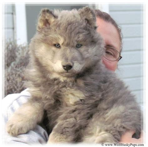 wolf hybrid puppies for sale in wolf hybrid puppies for sale check us out in hoobly classifieds