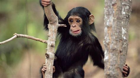 black monkey black monkey climbing a tree hd animals wallpapers