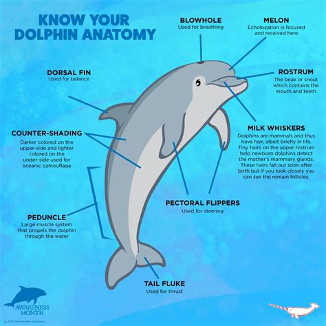 diagram of a dolphin dolphin anatomy www pixshark images galleries with