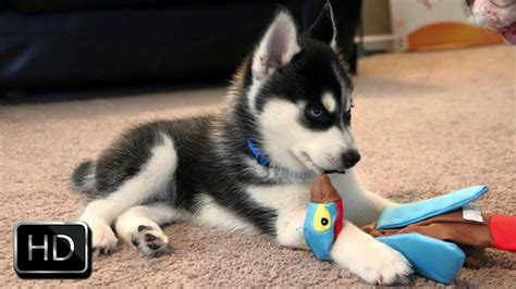 husky puppy toys angry husky puppy barking at and biting it