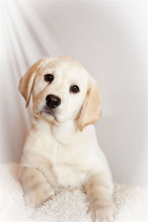 lab puppy names my a yellow labrador retriever breeds picture