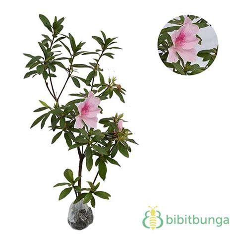 Hibiscus Putih Tumpuk 20 40cm tanaman azalea pink white jual tanaman hias