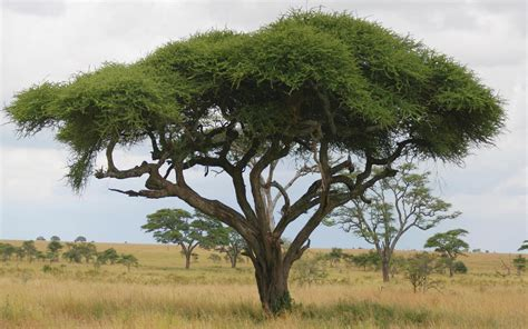 define tree acacia tree dream meaning dream about acacia tree