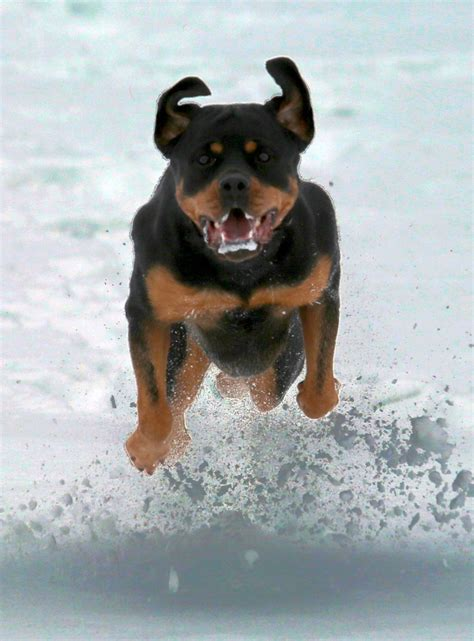 rottweiler in snow rottweiler in snow dogs our friends photo