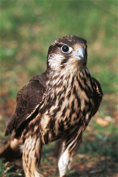 falco pellegrino alimentazione uccelli falco pellegrino sapere it