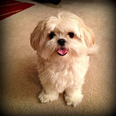 what is a shih tzu mixed with shih tzu mix justin is a maltese shih tzu mix and about 8 weeks breeds picture