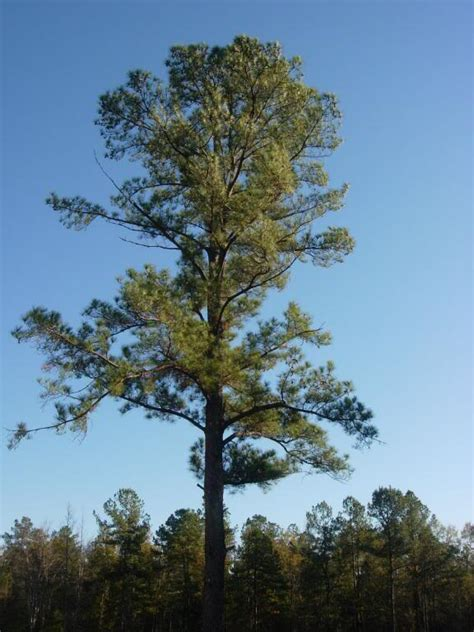 The Pine Tree pine tree pictures information on the pine tree species
