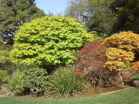 how to grow japanese maple trees growing japanese maple